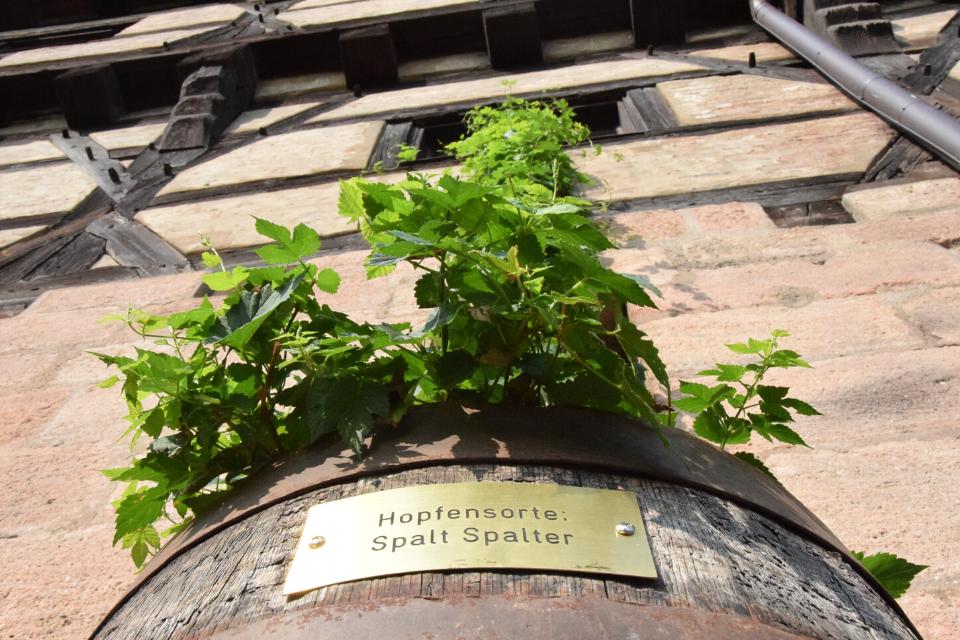 Unser Spalter Aromahopfen am Eingang des HopfenBierGut